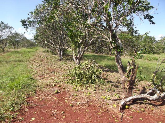 Trabajan en Camagüey por resarcir daños de huracán Irma a producción citrícola (+Fotos)