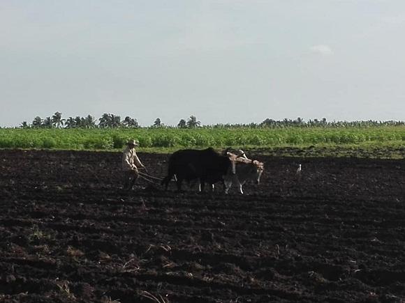 Camaguey makes progress in winter sowing season