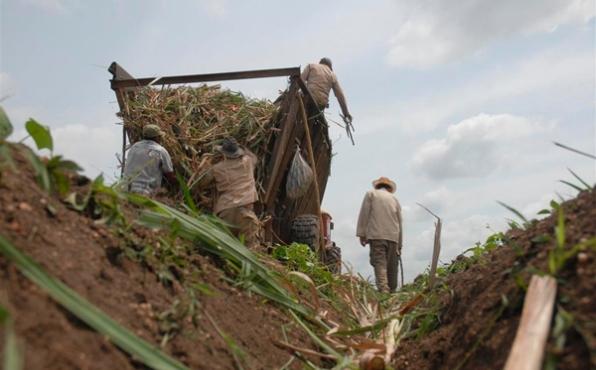 Azucareros camagüeyanos se movilizan para garantizar siembra de caña