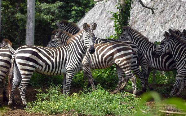 Cebra africana perteneciente a la fauna exótica del área protegida La Belén.