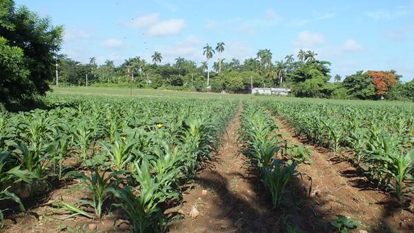 Llamados productores de alimentos en Guáimaro a elevar niveles de las cosechas