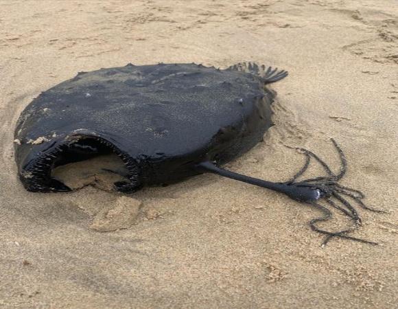 Aparece pez abisal en una playa de California (+ Foto)