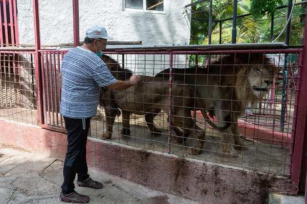 No pasó del susto: ¡fuga de leones en Camagüey!