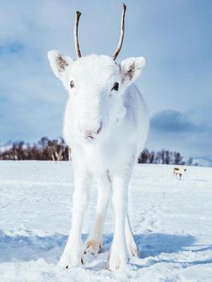 Fotografían en Noruega a un reno blanco (+ Fotos)