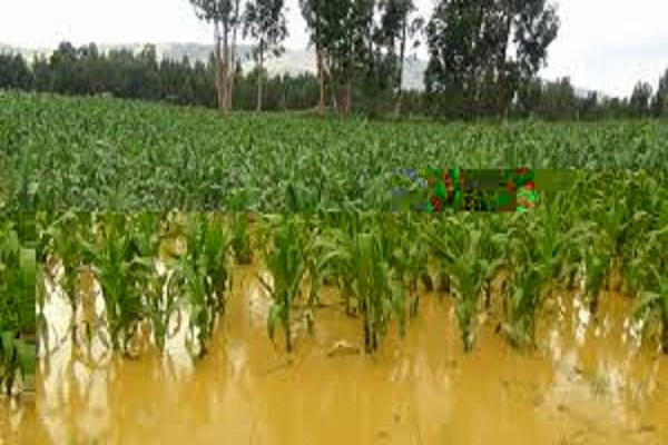 Daños en áreas agrícolas del camagüeyano municipio de Florida por intensas lluvias