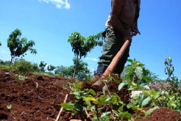 Se recupera la agricultura camagüeyana tras azote de huracán