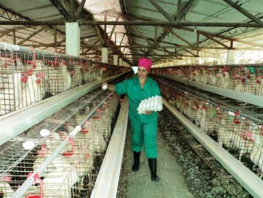 Trabajan por normalizar la producción avícola en Camagüey