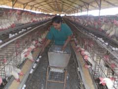 Continúa en ascenso producción avícola en Camagüey