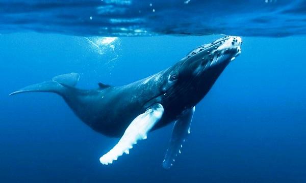 La mayoría de las ballenas azules son diestras, según estudio