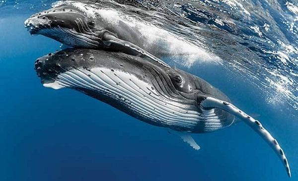 Científicos definen temas complejos en el canto de ballenas jorobadas
