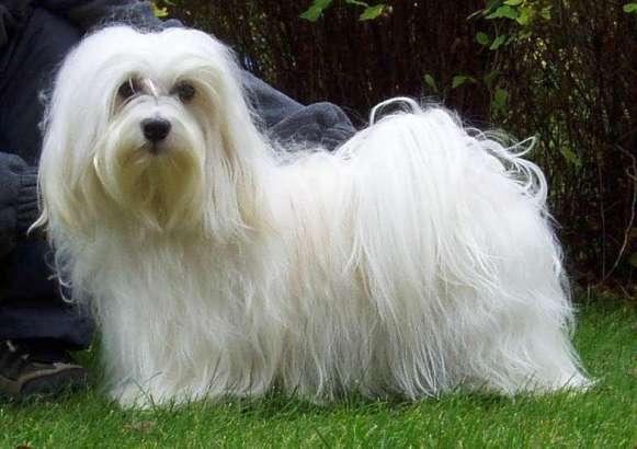 Acogió Cuba Campeonato Panamericano de Belleza canina