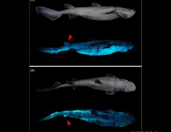 Científicos descubren tiburón luminoso más grande del mundo