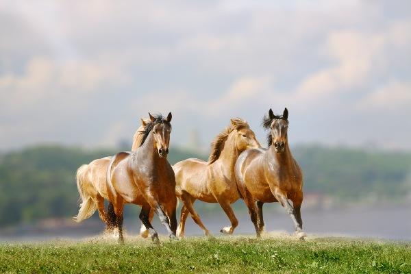 Se extinguen los caballos salvajes en el planeta