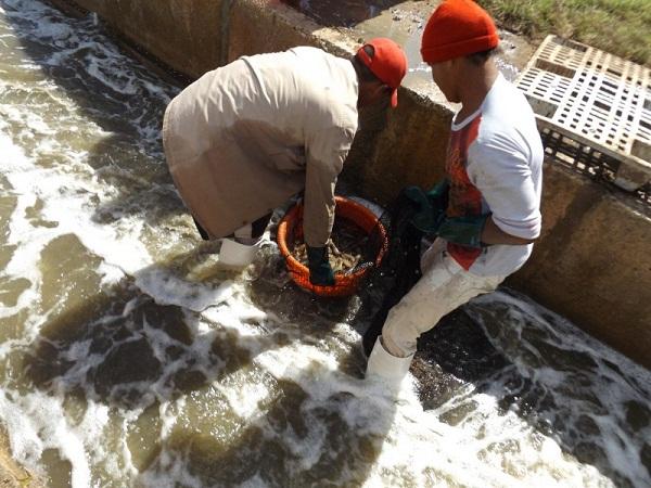 Camaronicultores camagüeyanos cumplen compromiso productivo del primer cuatrimestre