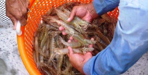 Proyecto de colaboración internacional en Camagüey favorecerá a la camaronicultura