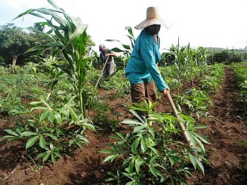 Inmersos campesinos camagüeyanos en la recuperación de producciones agrícolas