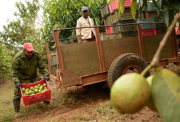 Impulsar la producción de frutales, prioridad de agricultores cubanos
