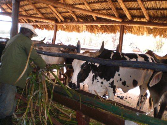 Campesinos camagüeyanos diversifican producciones (+ Fotos)