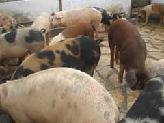 Experiencias camagüeyanas en Seminario Internacional de Porcicultura