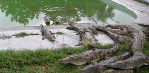 Criadero de cocodrilos: para aprender y amar a la Naturaleza