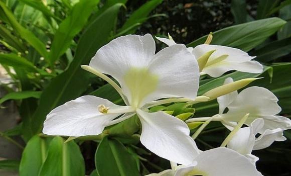 La Mariposa: Flor Nacional de Cuba