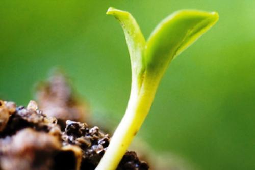 Crece demanda del HeberNem para controlar los cultivos
