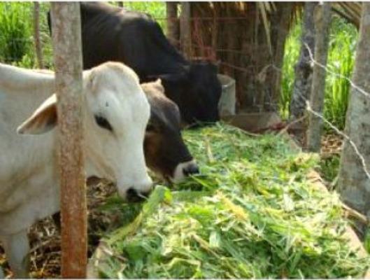 Ganaderos camagüeyanos incrementan producción de alimento para vacunos