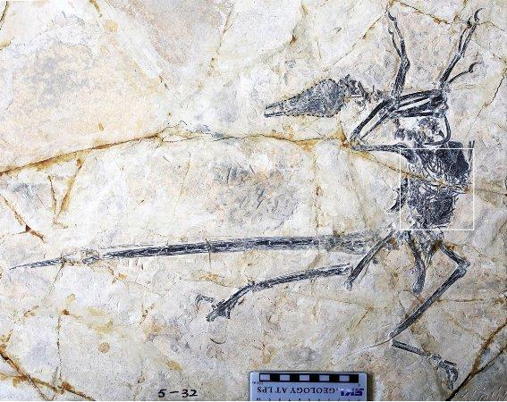 Descubren en China lagarto extinto fosilizado dentro de un dinosaurio