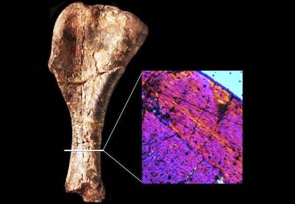 Hallan fósil del más antiguo de los dinosaurios en un museo