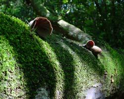 La humedad reinante en el Área Protegida de Limones-Tuabaquey favorece el crecimiento de hongos. (Foto: Leandro A. Pérez).
