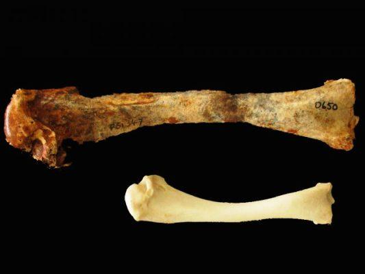 Descubren en Australia  evidencias fósiles de un pavo gigante