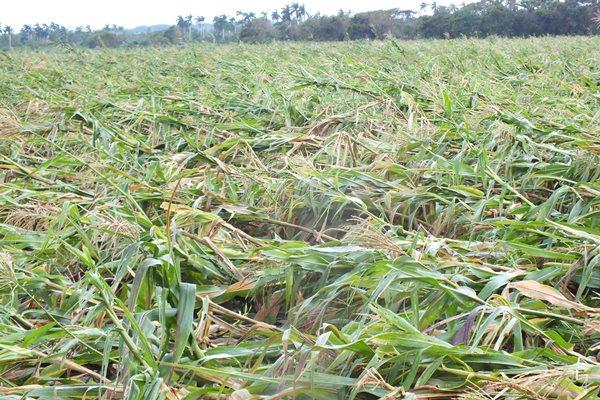Prioridad a los cultivos de ciclo corto en campos camagüeyanos