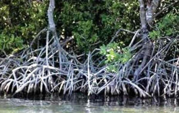 Manglares de Playa Florida