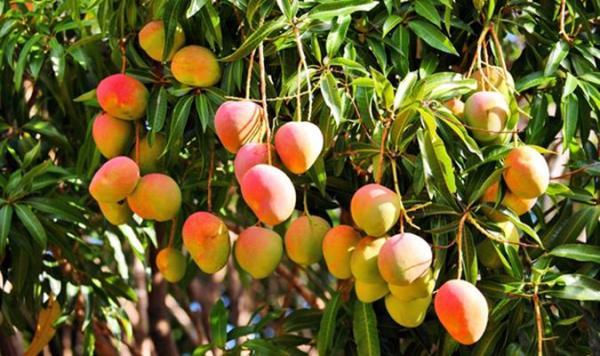 Movimiento cooperativo en Camagüey incrementa cultivo de frutas