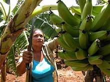 Camagüeyanas aportan a la producción de alimentos