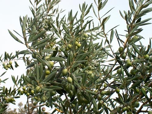 Aseguran especialistas que extractos de la planta de olivo aceleran la cicatrización