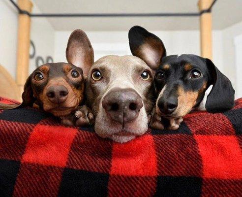 Los perros usan expresiones faciales para comunicarse con humanos
