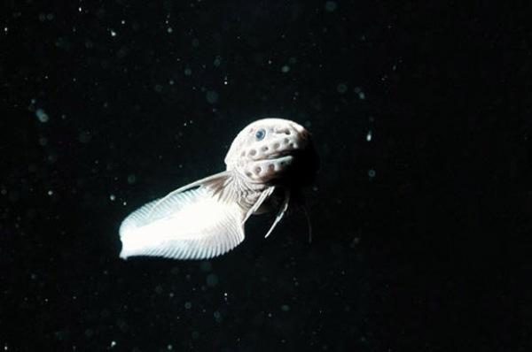 Pez caracol de las Marianas supera marca de profundidad en el océano