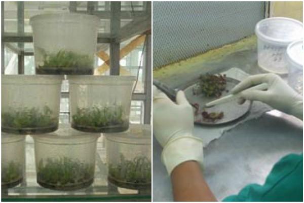 Expertos latinoamericanos debatirán en Cuba sobre mejoras por mutaciones en plantas