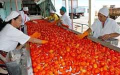 Estable procesamiento de tomate en fábricas camagüeyanas