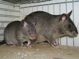 On trouve des fossiles de rats géants au sud-est de l'Asie du sud-est