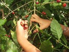 Renueva sus cafetales Agricultura cubana