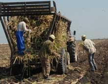 Buenos resultados presenta en Camagüey siembra de caña de azúcar