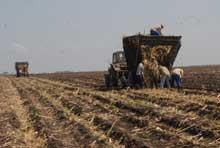 Sembradas en Camagüey más de 18 mil hectáreas de caña