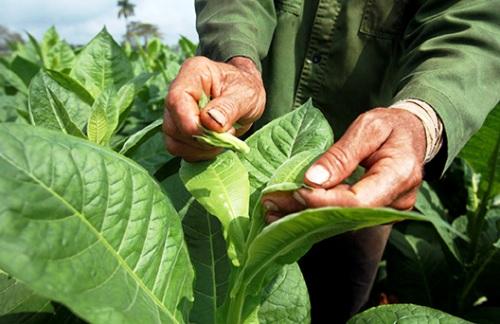 Impulsa municipio camagüeyano producción tabacalera