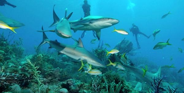 Tiburones implantaron récord mundial de ataques en 2015