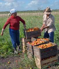 Alentadores resultados en agro suburbano de Camagüey