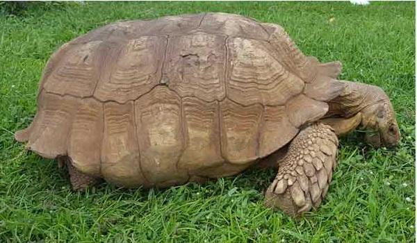 Fallece tortuga gigante más vieja de África