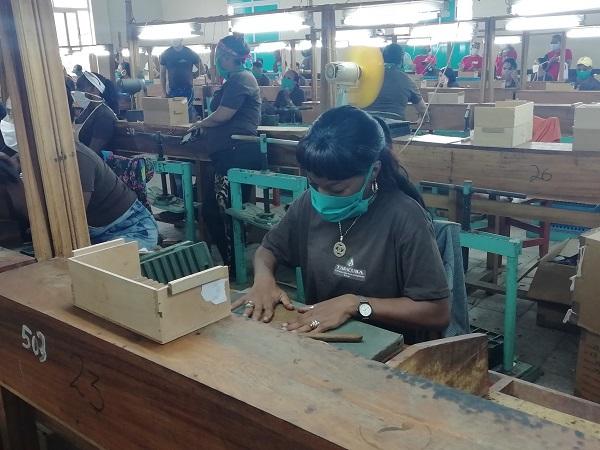 Tabacaleros camagüeyanos sin detener sus producciones en medio de actual situación epidemiológica (+Fotos)
