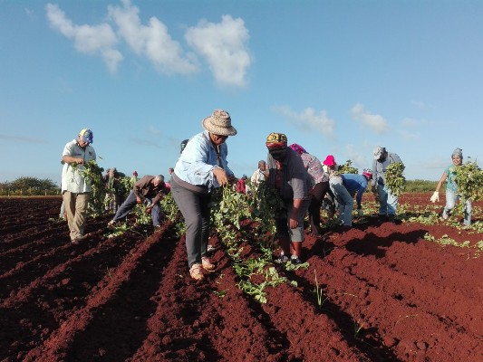 Starring Camagüey's women volunteer work in food production